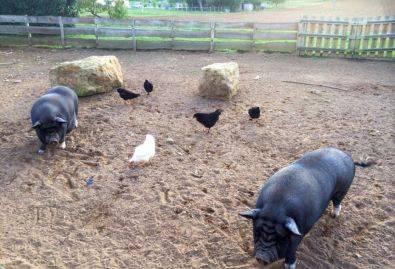 Les cochons - Les animaux sont en semi-liberté