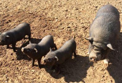 cochons - 3 petits cochons et la maman